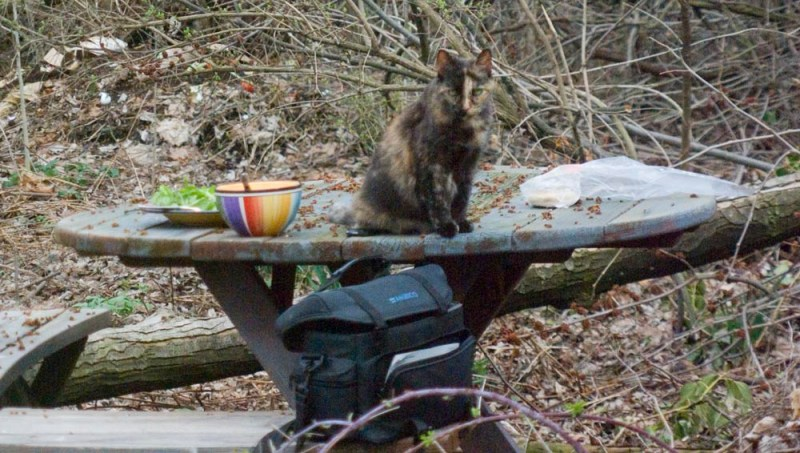tortoiseshell cat on picnic table with food