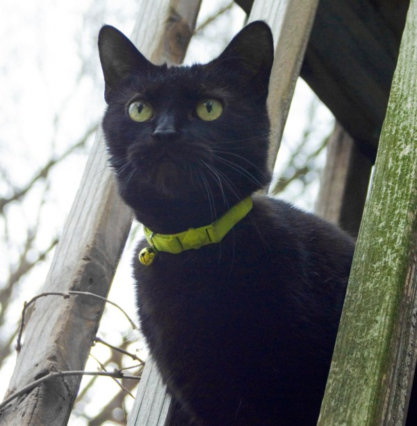 black cat with green eyes and collare