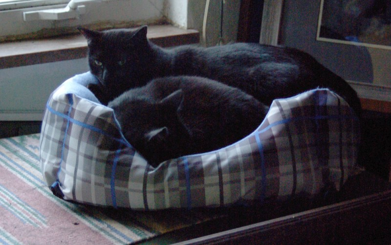 two black cats in bed