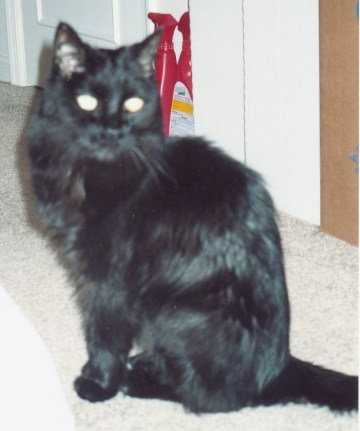 photo of long-haired black cat