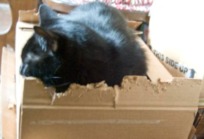 black cat in chewed cardboard box