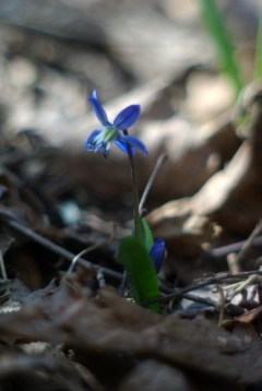 Tiny and delicate but vibrant Blue Siberian squills planted with Allegro's supervision.