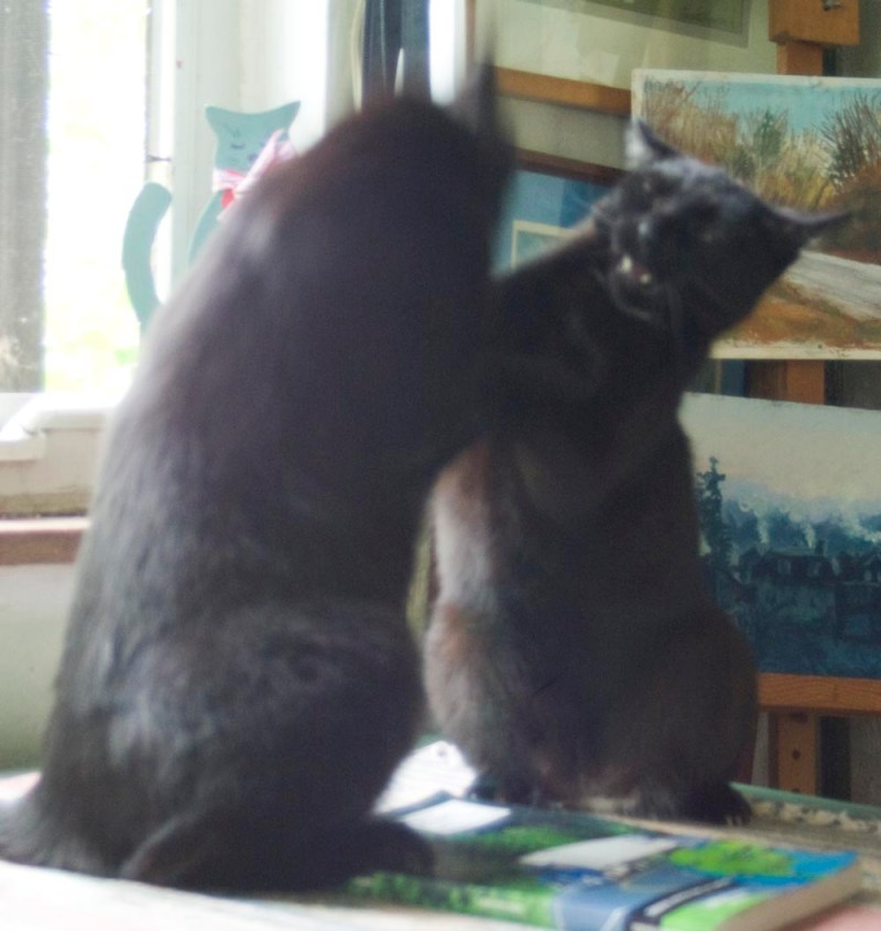 two black cats wrestling