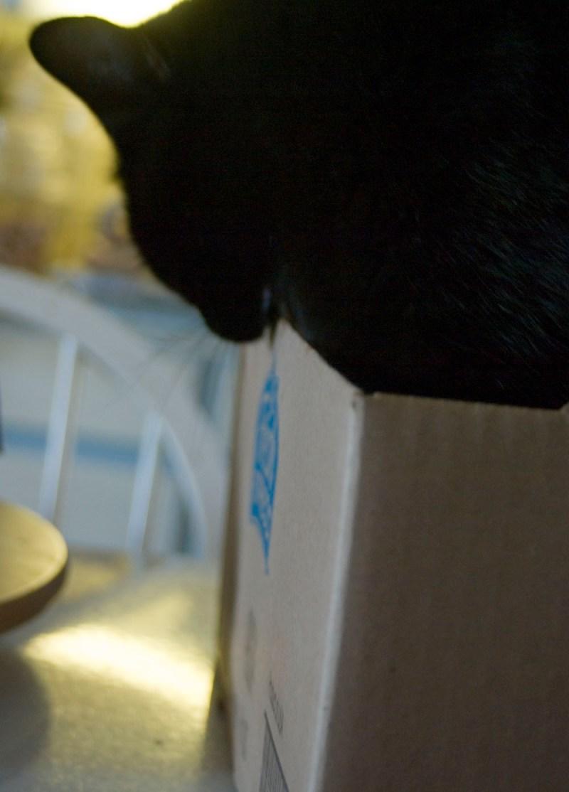 black cat biting cardboard