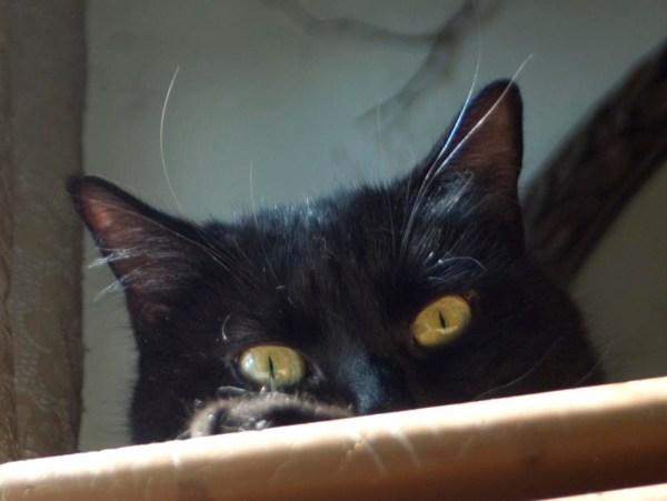 black cat peaking over edge