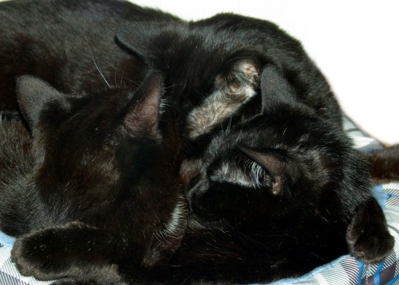thre black cats