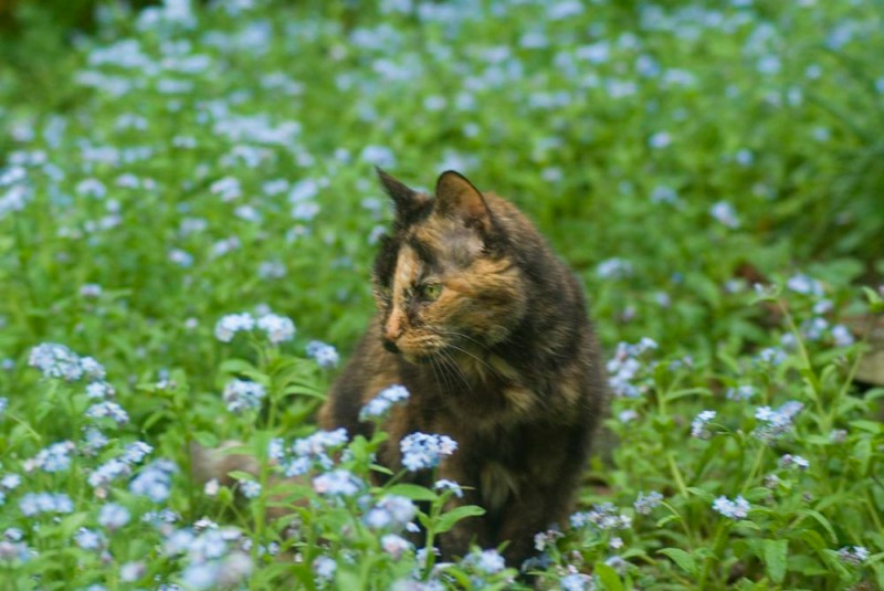 tortoiseshell cat in forget-me-nots