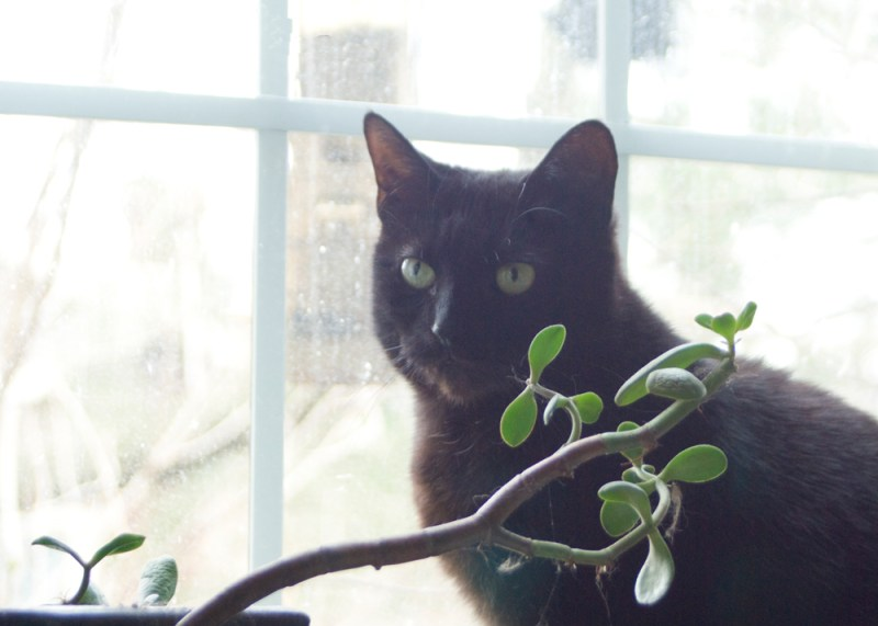 black cat with jade plant in front of window