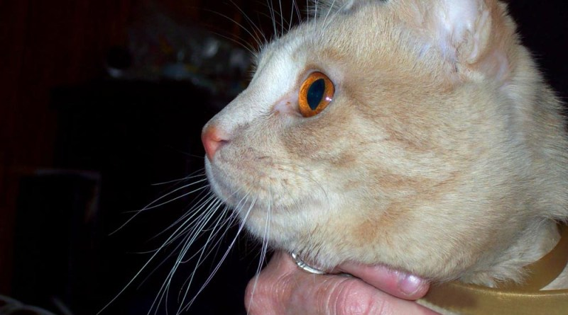 orange cat with orange eyes.