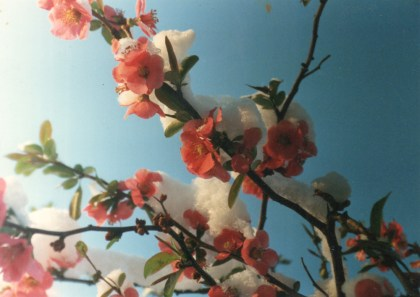 quince with snow