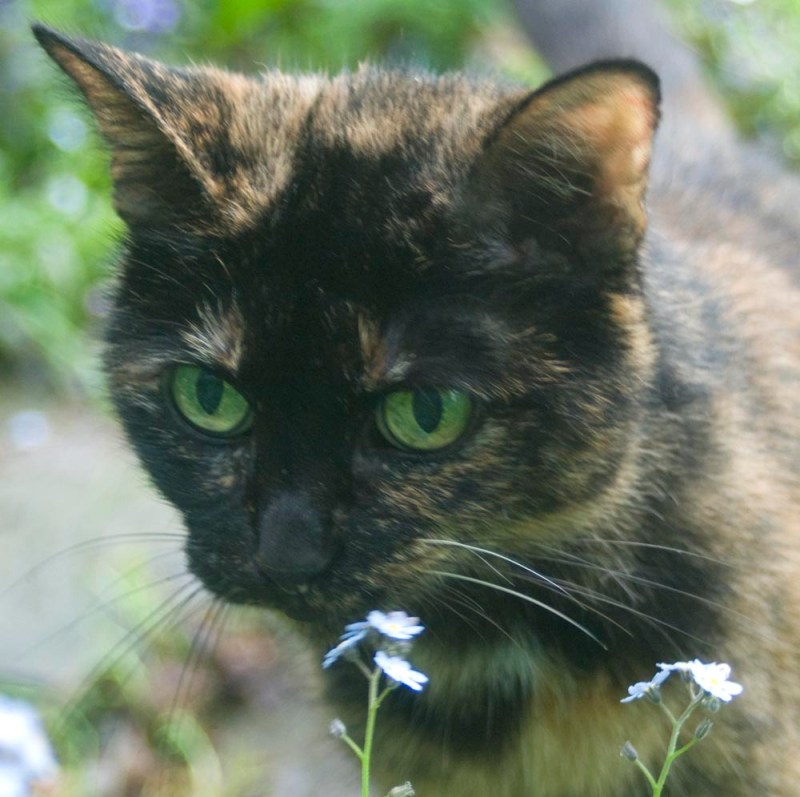 tortoiseshell cat with forget-me-nots