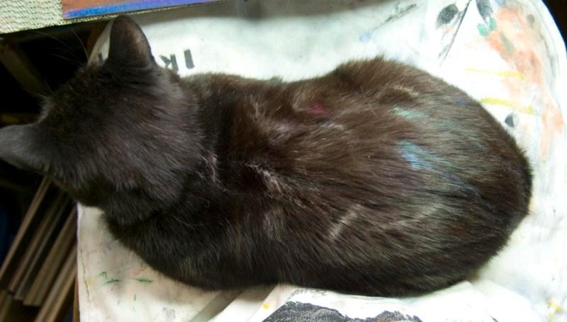 black cat with pastel in fur