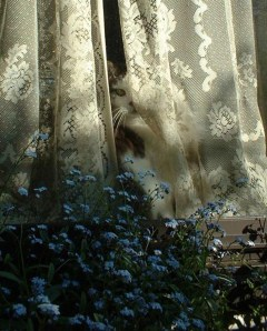 cat with forget me nots and lace curtain