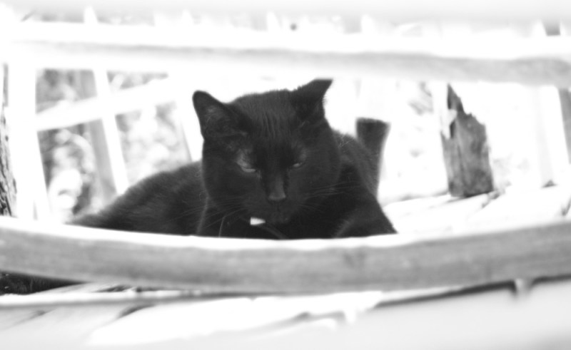 black and white photo of black cat