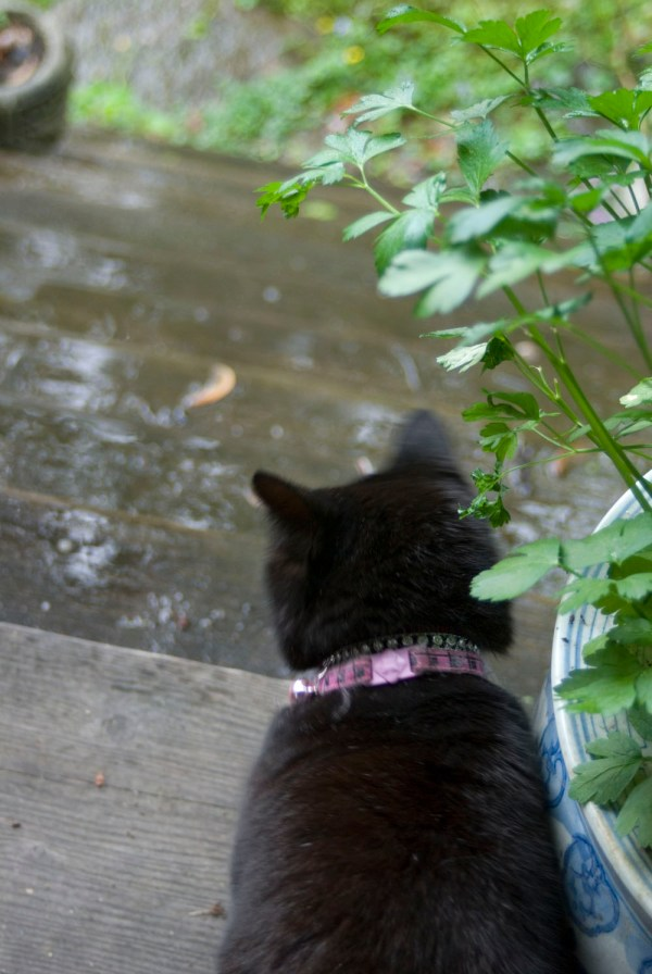 black cat looking at rainy steps.