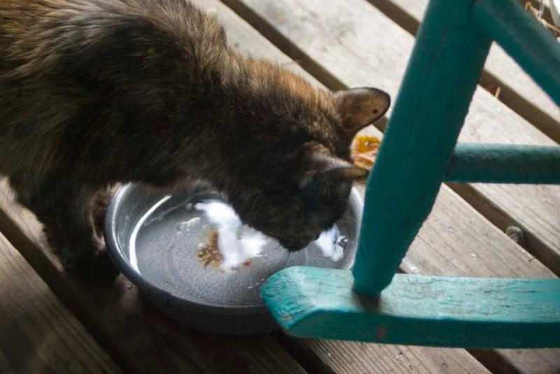 tortoiseshell cat drinking from bowl