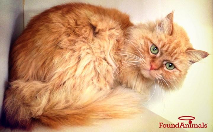 orange cat with found animals logo