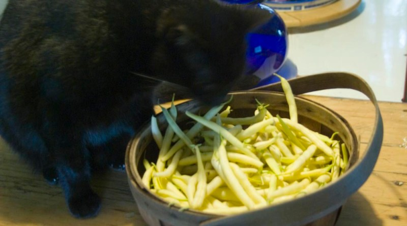 black cat with yellow beans
