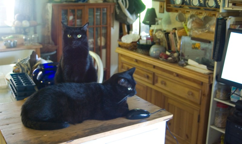 two black cats with computer