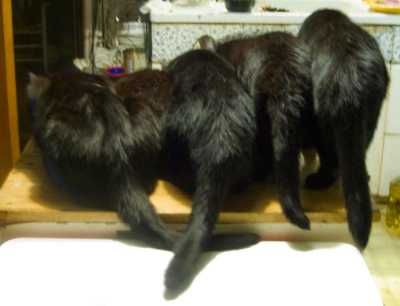 five black cats from behind