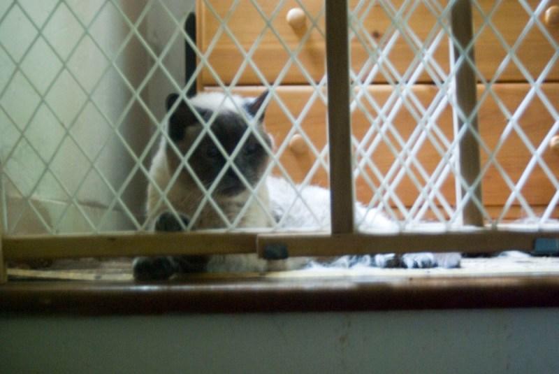 siamese cat behind baby gate