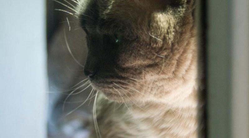siamese cat reflecting