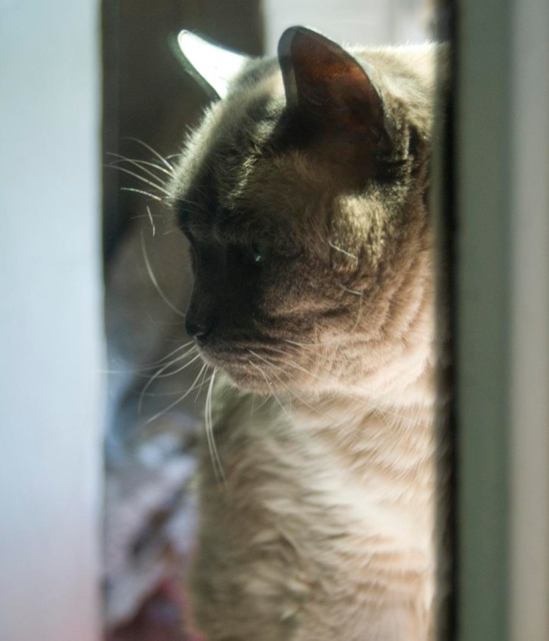 siamese cat reflecting