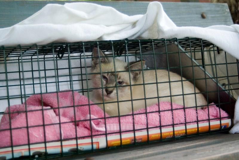 siamese cat in cage