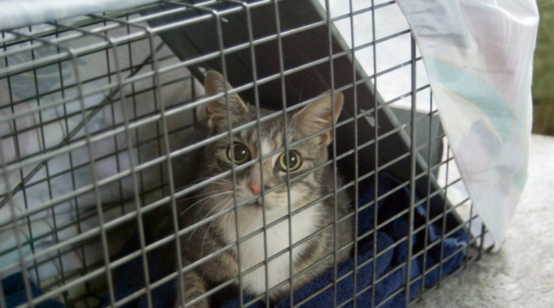 tabby and white cat in cage