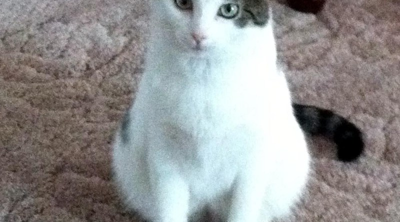 white cat with tabby spots