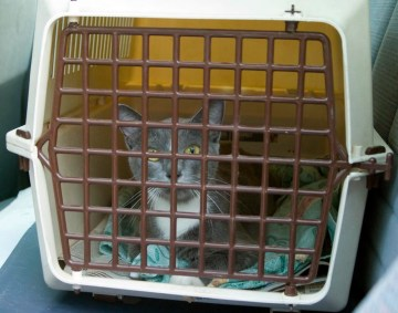 gray kitty in carrier