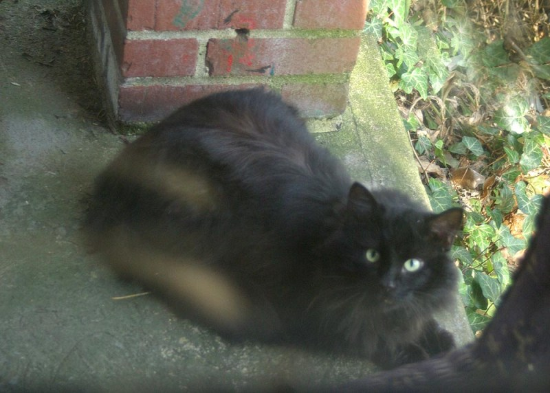 long haired black cat