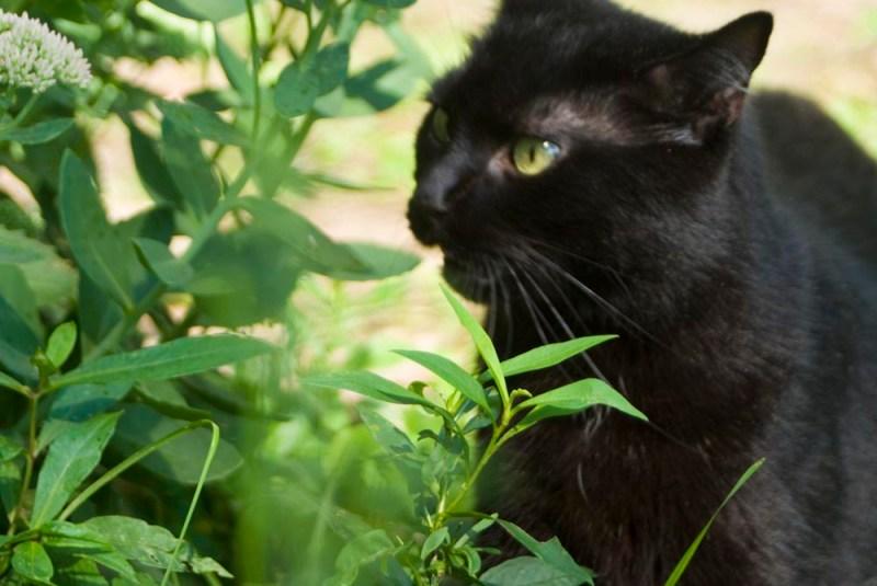 black cat with flehmen response