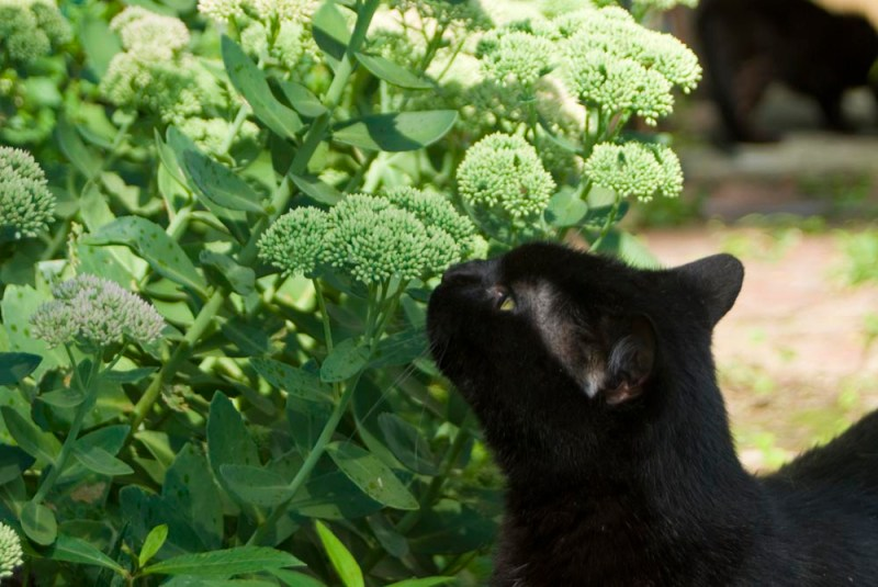 black cat sniffing autumn joy sedum