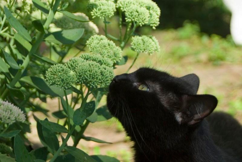 black cat sniffing autumn joy sedum