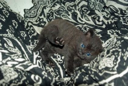 black kitten on patterned skirt