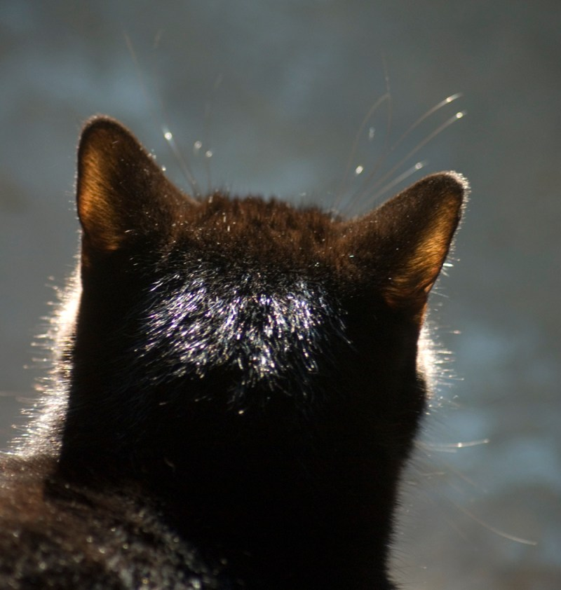 black cat from behind