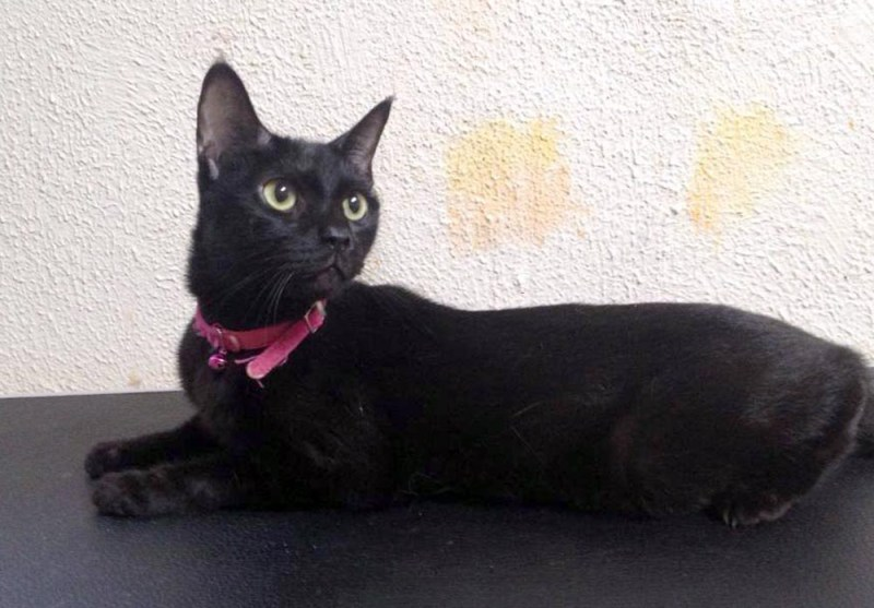 black cat with pink collar