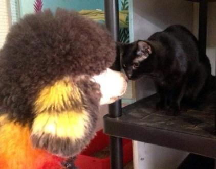 black cat and painted poodle