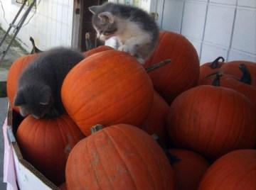 kittens and pumpkins