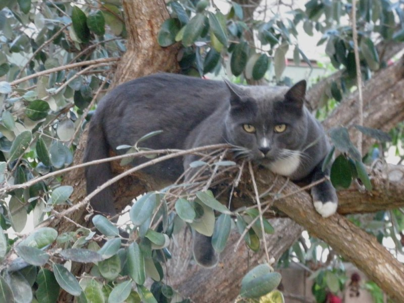 Smokey in the strawberry Guava tree.
