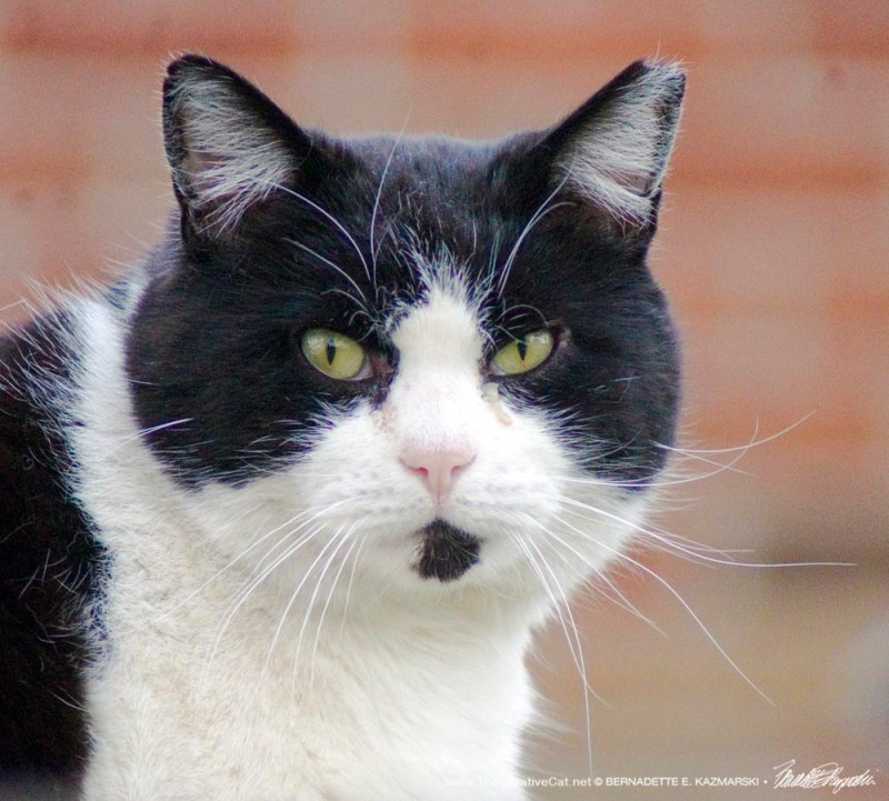 black and white eartipped feral cat