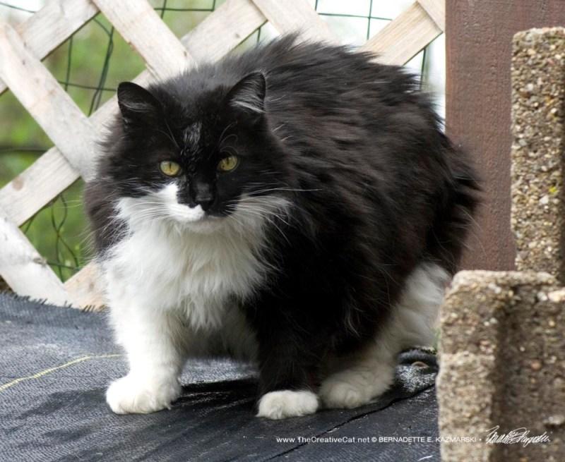 black and white community cat
