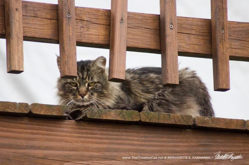longhaired tabby feral cat