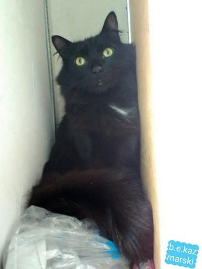longhaired black cat