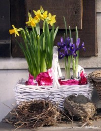 A gift basket of tiny narcissus and iris ended up outside to welcome guests.