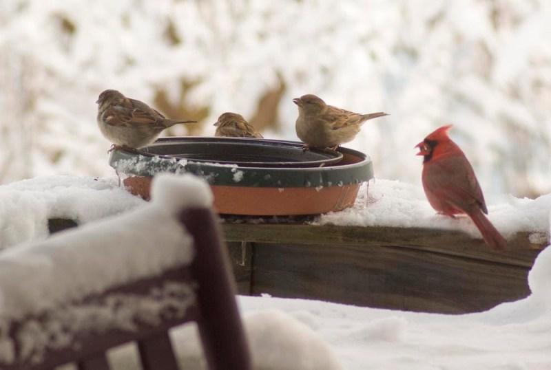 sparrows and cardinal at bird bath