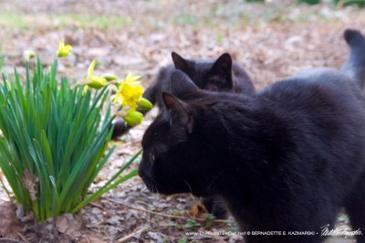 two black cats with daffodils