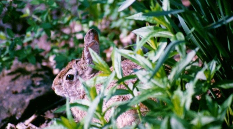 Bunny in the spring yard.