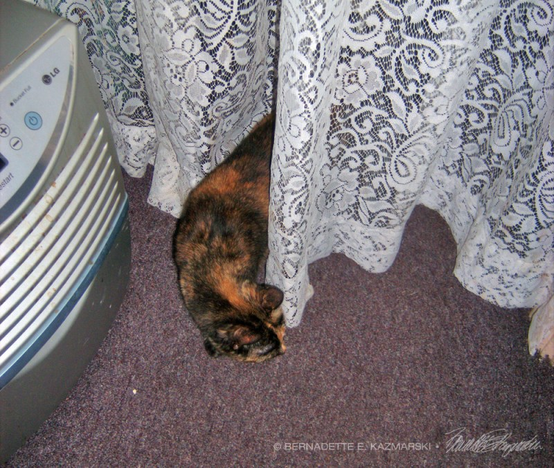 cat through curtain